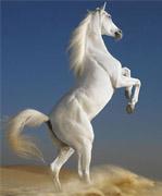 地球上最古老的马种——阿拉伯马